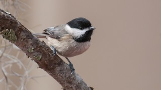 DSC_9889-Carolina-Chickadee