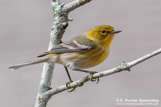 DSC_9916-Pine-Warbler