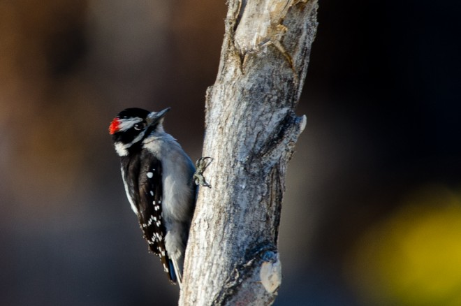 Downy-Woodpecker-1