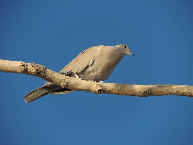 Eurasian-Collared-Dove-03-1