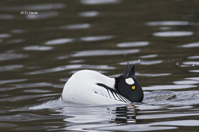 Goldeneye-mating-ritual-14