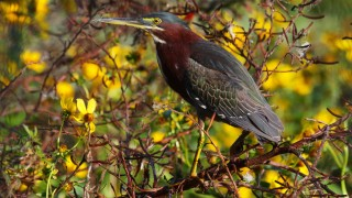 Green-Heron-in-the-flowers