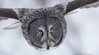 Great Gray Owl by mayhaga.