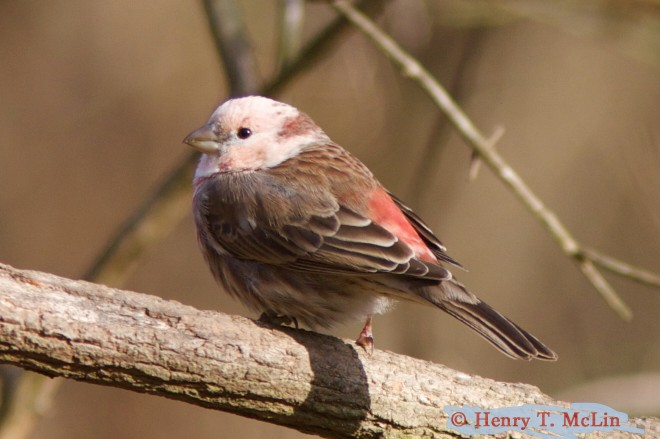 Leucistic-House-Finch-1