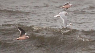 Ross's Gulls ©2013 Bernard Grossman
