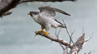 Male Peregrine Falcon at Oregon Coast NWR Complex by Roy W. Lowe, USFWS Headquarters.