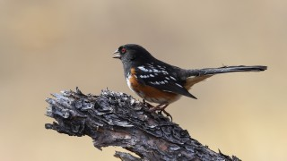 Spotted-Towhee-Final-8150