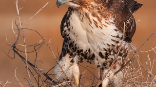 Young-Red-tailed-Hawk-Hunting_JanetDiMattia