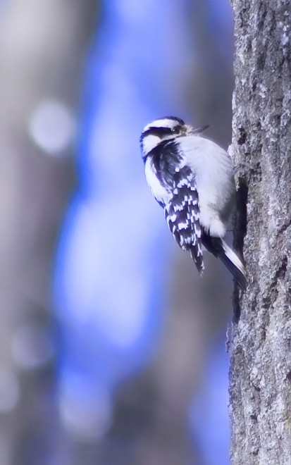 downy-woodpecker-a