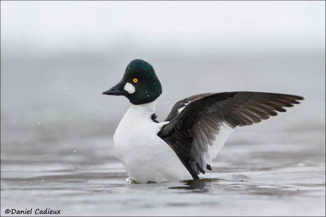 tn_Common-Goldeneye_2956-1