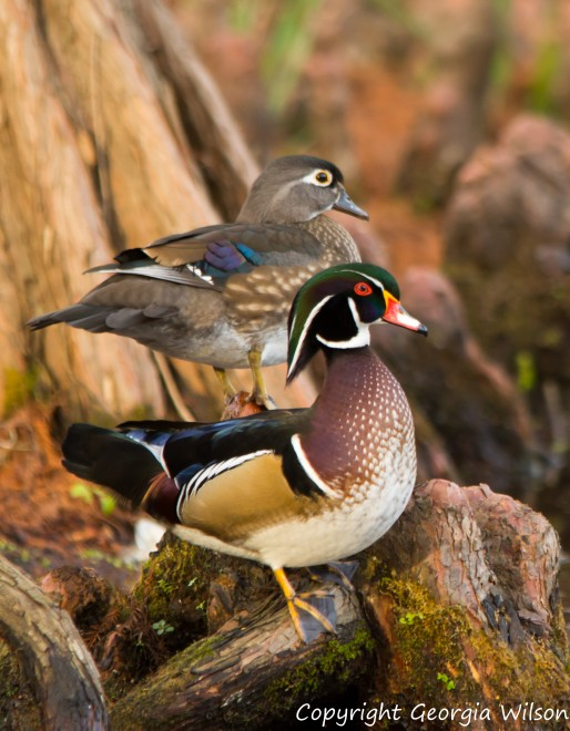 wood-ducks-5989