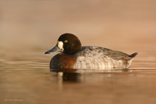 2013_GreaterScaup_Dec_2a