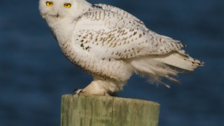 This Snowy Owl, an immature male known as Assateague, was tagged and banded in mid-December at Assateague Island National Seashore in Maryland. He has since flown to the central New Jersey coast, where this photo was taken. Photo by Bob Fogg