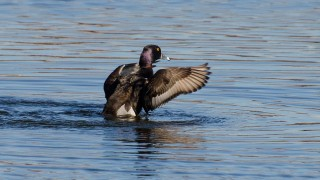 DSC0086-Ring-necked-Duck