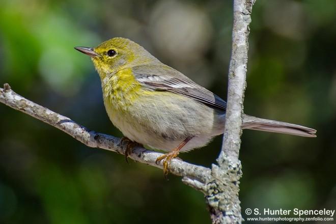 DSC0098-Pine-Warbler