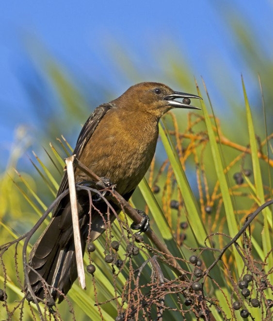 GrackleFemale