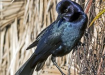 GrackleMale