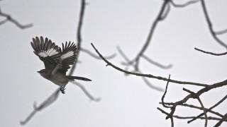 N.Mockingbird