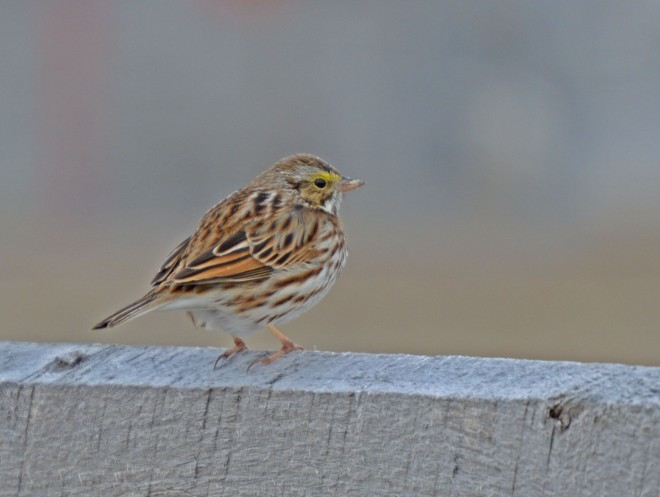 Rocks-camera-pictures-south-to-north-trip-2014-savannah-sparrow-cropped-4