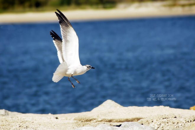 Seagull-in-Flight
