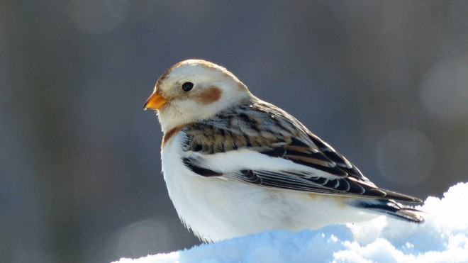 Snow Bunting by birdware.