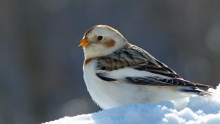 SnowBunting3forweb