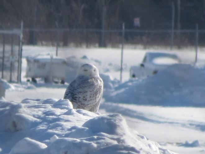 Snowy-Hancock-Owl