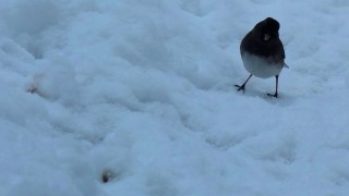 fmitchell_junco_15Feb14VA