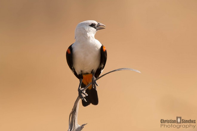 white-headed-buffalo-weaver