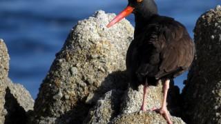 Black-oystercatcher-tony-britton-2014