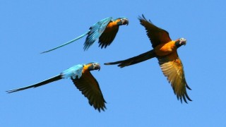 Blue-throated Macaws flash bright yellow underparts and long turquoise tails. Photo by American Bird Conservancy, Benjamin Skolnik.