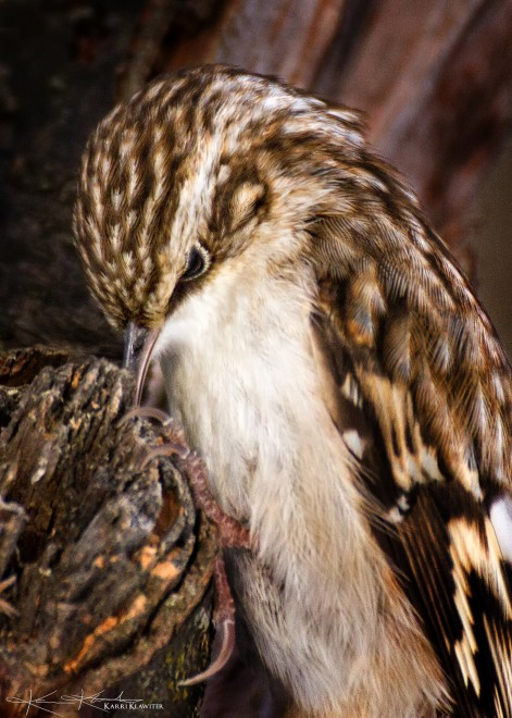 Brown-Creeper_name