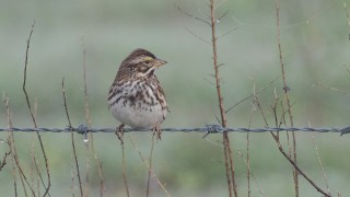 DSC0022-Savannah-Sparrow