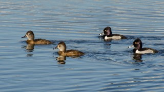 DSC0036-Ring-necked-Ducks
