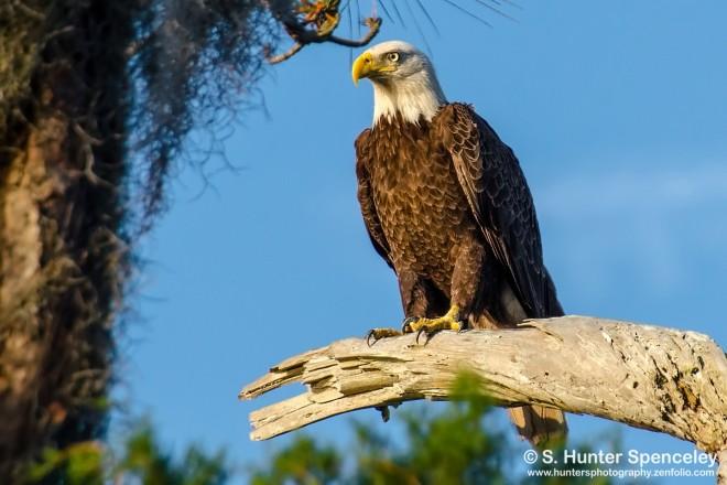 DSC0065-Bald-Eagle
