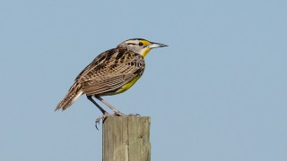 DSC0084-Eastern-Meadowlark