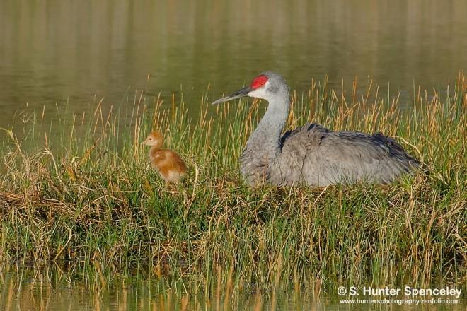 DSC0374-Sandhill-Cranes