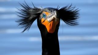 Double-crested-Cormorant-tony-britton-2014