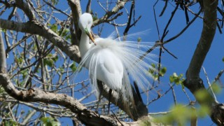 Egret-Plumage