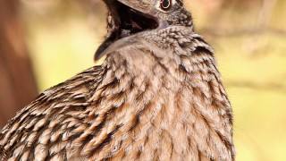 Greater-Roadrunner-Red-Rock-2-18-12-7a-200PI