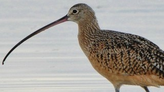 Long-billed Curlew_320x180