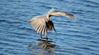 Merritt-Island-2014-Reddish-Egret-wings-outspread