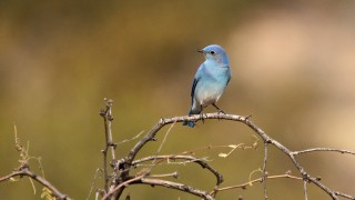 Mountain-Bluebird-Red-Tank-Draw-1-25-14-17-200PI
