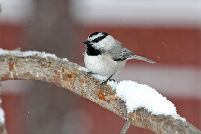 Mountain-Chickadee-Yard-12-3-11-8-200PI