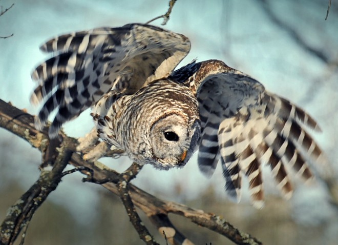 Barred Owl (Strix varia), Grand Rapids, Minnesota, March 4, 2014, 2:45 p.m. by Kevin Yopp