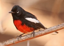 Painted Redstart at Cave Springs Campground, Oak Creek Canyon, Arizona, by Gary Botello.