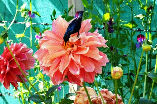 Purple-Sunbird-Nectarinia-asiatica