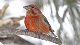 Red-Crossbill-Yard-2-27-11-3-200PI