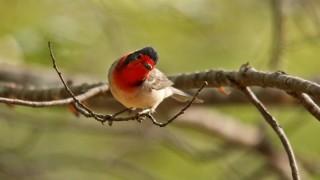 Redfaced-Warbler-Homestead-8-23-13-10-200PI
