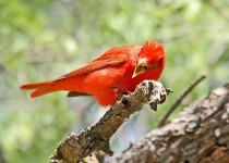 Summer-Tanager-Page-Springs-5-26-12-3-200PI